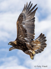 golden eagle (Pattys-photos) Tags: golden eagle idaho pattypickett4748gmailcom pattypickett