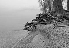 Roots (chuckh6) Tags: trees beach sand water