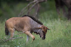 Blue Wildebeest, grownup calf (leendert3) Tags: leonmolenaar southafrica krugernationalpark wildlife wilderness wildanimal nature naturereserve naturalhabitat mammal bluewildebeest