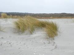 Dry hiking Schiermonnikoog (Alta alatis patent) Tags: dunes helmgras sand