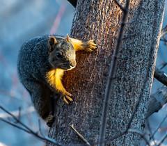 Morning Light (Qmass314) Tags: boulder colorado unitedstatesofamerica squirrel