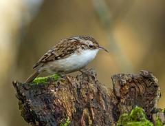 Treecreeper. (pecky2013) Tags: treecreeper speciescerthiafamiliaris nature ukwildbirds wildlifephotography woodlandbirds bird