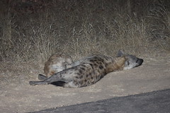 Hyaena at night (Rckr88) Tags: krugernationalpark southafrica kruger national park south africa hyaena night hyaenaatnight hyaenas nights road roads animal animals nature naturalworld outdoors travel travelling