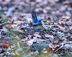 Dance finish (shinichiro*@Hokkaido-until0217) Tags: 町田市 東京都 日本 20200115ds23058 2020 crazyshin nikonz6 z6 ftz sigma150600mmf563dgoshsmcontemporary winter january tokyo japan jp 薬師池公園 bird birds sspriority isoauto