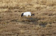 Black-necked crane (Grus nigricollis) feeding in the grasslands on the plateau (Paul Cottis) Tags: sichuan china paulcottis 8 november 2019 bird crane hongyuan plateau stand