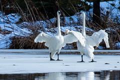Trumpeter Duet (TierraCosmos) Tags: swan trumpeterswan waterfowl winter ice pond sunriver oregon centraloregon landscape nature birds bestshotoftheday
