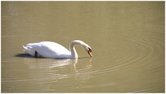 White Swan (JL Malherbe) Tags: reservedelahautetouche white swan