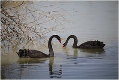 Black Swan x 2 (JL Malherbe) Tags: black swan couple x2 reservedelahautetouche