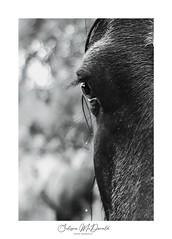 (sulizna) Tags: blackandwhite animal farm wet horse rainy