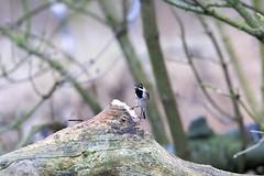 J78A0511 (M0JRA) Tags: kiveton woodland walks people birds trees woods sky clouds fields