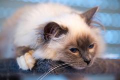 _MG_3699 (Morituri Sakapoils) Tags: chat chats cat cats birman sacre birmanie