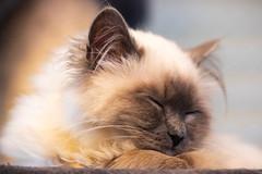 _MG_3703 (Morituri Sakapoils) Tags: chat chats cat cats birman sacre birmanie
