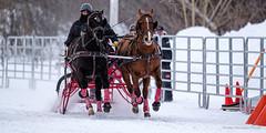Winter Derby 2020 #16 (GilBarib) Tags: winterderby winter gilbarib xf200mm horses chevaux xf200mmf20rlmoiswr derby xt3sport fujinon sleigh xt3 cheval ladaq gillesbaribeauphoto fujifilm sport sleighracing fujixsport attelage fujix traîneaux