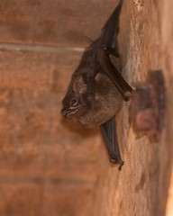 A Bat in the eaves (Blurmeister) Tags: