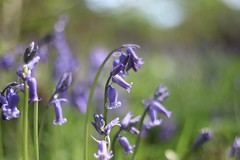 Bluebell      Rodenstock Heligon  50mm F 2.0 (情事針寸II) Tags: nature closeup spring bokeh wildflower oldlens rodenstockheligon50mmf20 flowerscolors macrodreams