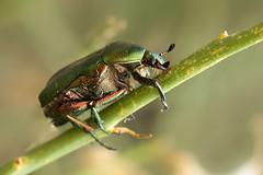 Green june beetle - Zakynthos (mariandeneijs) Tags: cotinisnitida greenjunebeetle junebeetle beetle junebug bug kever scarabbeetle groenekever groenejunikever junikever zakynthos griekenland greece