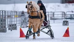 Winter Derby 2020 #7 (GilBarib) Tags: winterderby winter gilbarib xf200mm horses chevaux xf200mmf20rlmoiswr derby xt3sport fujinon sleigh xt3 cheval ladaq gillesbaribeauphoto fujifilm sport sleighracing fujixsport attelage fujix traîneaux