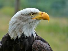 Weißkopfseeadler (Holger Eilhardt) Tags: weiskopfseeadler adler seealder usa eagle bald golden greifvogel vogel könig der lüfte big bird fantastic königlich wappentier tiere animals