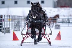 Winter Derby 2020 #2 (GilBarib) Tags: winterderby winter gilbarib xf200mm horses chevaux xf200mmf20rlmoiswr derby xt3sport fujinon sleigh xt3 cheval ladaq gillesbaribeauphoto fujifilm sport sleighracing fujixsport attelage fujix traîneaux