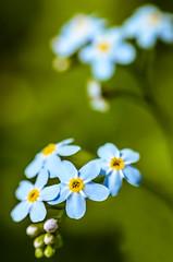 Forget me not (Jon_Taylor71) Tags: nikkor nikon d7000 macro close closeup flower blue forgetmenot petals dainty