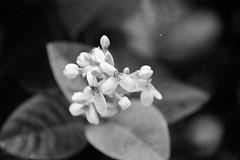 Nature in B&W (Thanathip Moolvong) Tags: nikon f100 nikkor 28300mm f3556 ilford delta 4002 bw film hc110 nature closeup