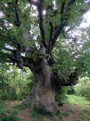 Quercus faginea (L'herbier en photos) Tags: fagacées fagaceae quercus faginea lam chêne portugal portuguese oak quejigo bagüeste aínsasobrarbe aínsa sobrarbe laínsa huesca aragon espagne aragón españa pa1209 ecoid793