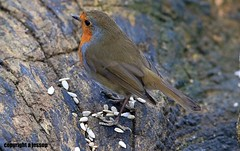 Robin J78A0504 (M0JRA) Tags: trees people birds woodland woods walks kiveton sky clouds fields robins