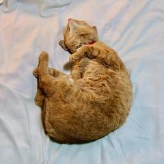 She sometimes sleeps in my bed. #cat #猫 #ネコ #ねこ #Katze #chat #gatto #gato #feles #кошка #KAT #gato #?? #??? #???? #???? #ko?ka #kass #???? #муур #pisic? #Tokyo #日本 #東京 #Japan #ivvadotinfo