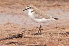 Red-capped Plover F (James_Preece) Tags: redcappedplover charadriidae m43 charadriusruficapillus