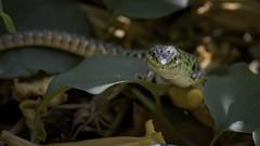 Lizard : portrait (Franck Zumella) Tags: lizard lezard green blue vert bleu animal wildlife foret forest ground sol