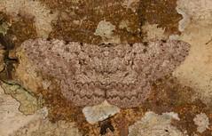 Geometrid Moth (Hypomecis cf. cineracea, Ennominae, Geometridae) (John Horstman (itchydogimages, SINOBUG)) Tags: insect macro china yunnan itchydogimages sinobug entomology moth canon lepidoptera ennominae geometridae crypsis camouflage brown