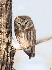 ''Lumière!'' petite nyctale-Northern saw-whet owl (pascaleforest) Tags: oiseau bird animal passion nature nikon owl wild wildlife faune québec canada