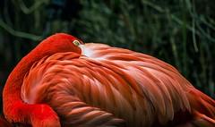 Flamingo (Fritz Zachow) Tags: flamingo erlebniszoo hannover vogel deutschland niedersachsen