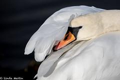 Mute Swan (Linda Martin Photography) Tags: dorset wildlife nature bird muteswan cygnusolor longhamlakes uk animal coth naturethroughthelens coth5 alittlebeauty fantasticnature specanimal ngc npc