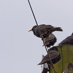 Starlings on a post