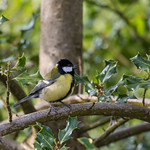 Great Tit in some woodland