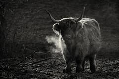 Morgenfrost (Jean-Marie Will) Tags: kuh rind hochlandrind horn huftier weide morgen frost wald tier schwarzweiss nik herrenberg gültstein erholungsheim