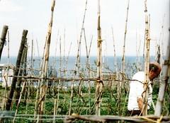 Agriculture_001 (Kata_phusin) Tags: ischia italy lacco ameno agriculture harbour mediterrean coast maritime