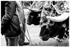 . . (Matías Brëa) Tags: calle street social documentalismo documentary blancoynegro blackandwhite bnw mono monochrome monocromo animales animals bueyes oxen