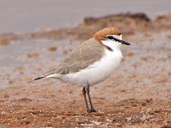 Red-capped Plover M (James_Preece) Tags: redcappedplover charadriidae m43 charadriusruficapillus