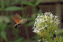 Photo of 69.010 Hummingbird Hawk-moth (Macroglossum stellatarum), Burntisland, Fife (2)