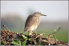 9568 - heron (chandrasekaran a 64 lakhs views Thanks to all.) Tags: heron birds nature india mangalajodi odisha fishes ramsarsite marsh wetlands chilicalakecanoneos6dmarkii tamronsp150600mmg2