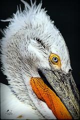 Dalmatian Pelican -7005 (SØS'Art) Tags: art artistic filterforge photoshop photomanipulation digitalart solveigøsterøschrøder nature colors birds blueeyes danmark fugle københavnszoo krøltoppetpelikandalmatianpelicanpelecanuscrispus natur orange 100views 300views
