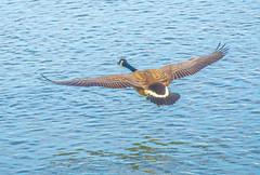 Gliding in. (Omygodtom) Tags: wildlife wild bird goose river nikkor nikon70300mmvrlens nature d7100 gliding usgs quite