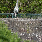 One of the local Herons
