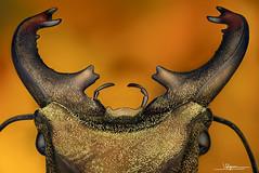 Cyclommatus zuberi [Philippines] (quenoteam) Tags: dimage minolta stacking beetle mitutoyo