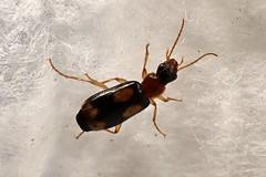 Dromius quadrimaculatus (lloyd177) Tags: dromius quadrimaculatus beetle dorset