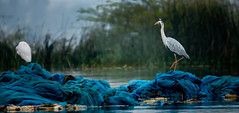 Great Grey Heron moment (Rams Tammina) Tags: people animal bird water outdoors nature animals in the wild egret wildlife great day heron themes white color grey wildlifeonearth wildlifephotography