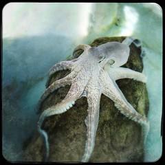 Brown Octopus....taking a snooze (PegPrice) Tags: hawaii bigisland hawaiianoctopus brownoctopus