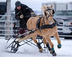 Winter Derby 2020 #6 (GilBarib) Tags: winterderby winter gilbarib xf200mm horses chevaux xf200mmf20rlmoiswr derby xt3sport fujinon sleigh xt3 cheval ladaq gillesbaribeauphoto fujifilm sport sleighracing fujixsport attelage fujix traîneaux